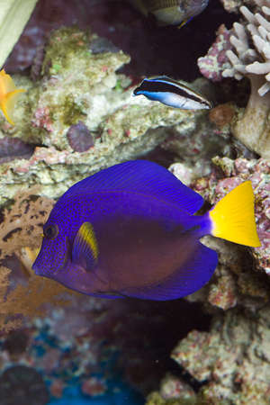 yellow tail: Blue Sail doctor fish with yellow tail
