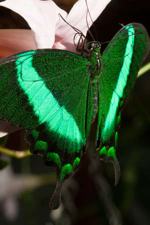dovetail: Green  dovetail with fluorescent wings