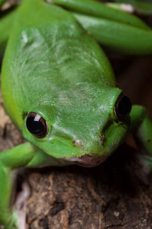 webbed legs: Green tree frog looking curiously at the camera optics