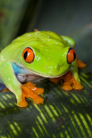 webbed legs: Red-eyed frog looks curiously at the camera