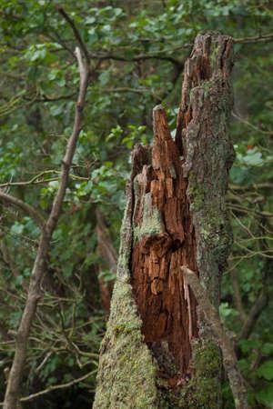 tree stump: rotten tree stump at Jasmund Herthasee