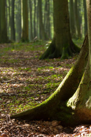 king chair: Tree trunks with roots emerge in the forest
