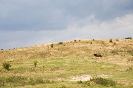 sch: Wildpferd auf einem geschützten Bereich im Süden Langelands Stock Photo