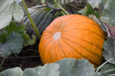 feld: Großer Kürbis inmitten von Blättern auf dem Feld Stock Photo