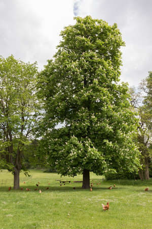 chestnut tree: Large Chestnut tree on a chicken meadow Stock Photo