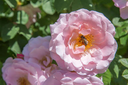 collecting: Peasant Rose with a bee while collecting nectar