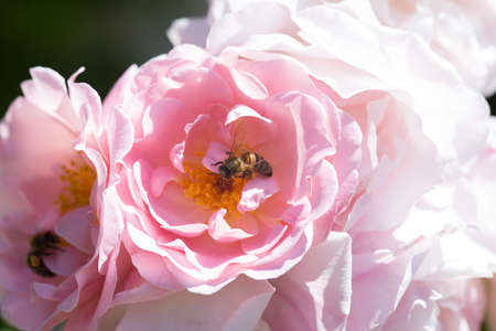 nectar: Two bees looking for nectar