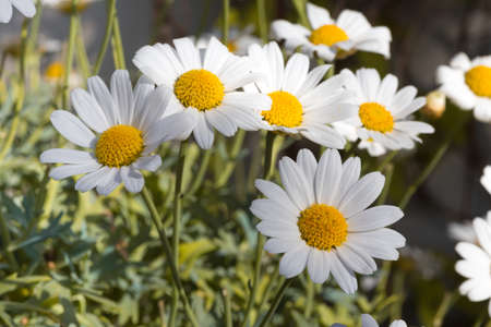 flourished: Daisies on a flower meadow