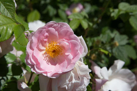 macroshot: Pink colored Peasant Rose with yellow center