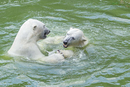 to seem: polar bears in the water seem to dance together Stock Photo