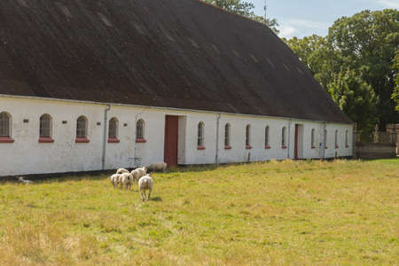 sheep barn: Sheep on a meadow in front of the barn in a white building Stock Photo