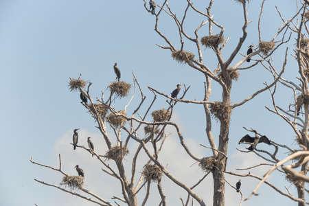 dozens: Dozens of cormorants on leafless trees with nests