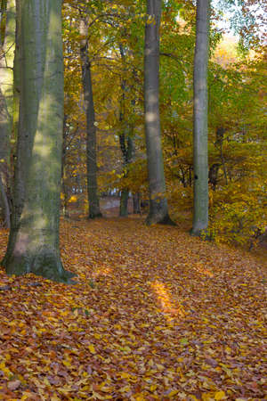 forest path: Narrow forest path with autumnal discolored leaves on the ground