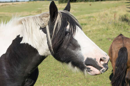 hoofed: Head of a piebald horse in a paddock with brown horse