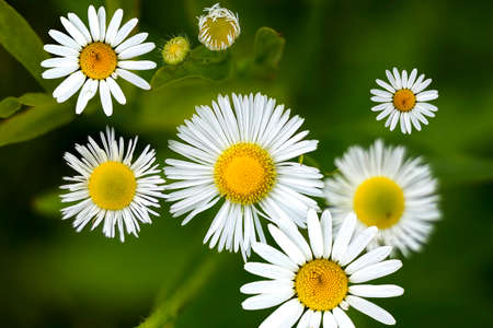 shasta daisy: Close view of daisy blossoms