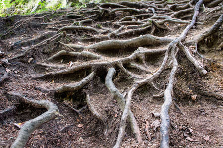 contrastive: Close view  of contrastive tangled tree roots coming of the ground