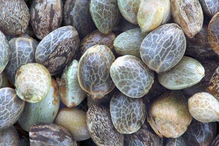 semilla: Cerrar la vista de las semillas de cáñamo, foto macro