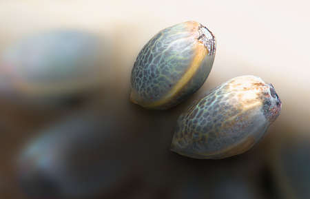 Close view of two hemp seeds in a blurred background Imagens