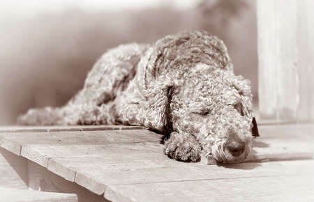 doggies: Sleeping dog in a black white Stock Photo