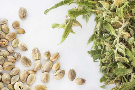Close view of hemp seeds and dried cannabis twig in a white background