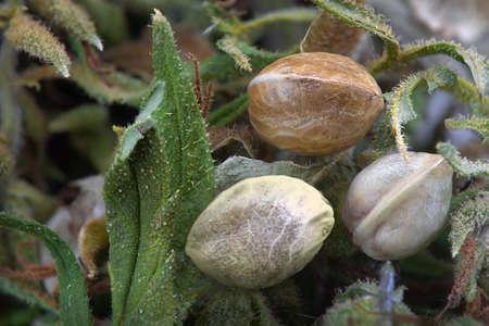 Dichte mening van drie hennepzaden op gedroogde cannabis bladeren Stockfoto