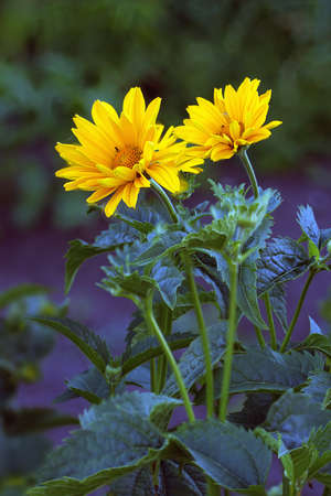 arnica: Close view of Arnica herb  blossoms .