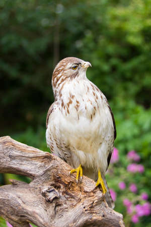 yellow tailed: Close view of buzzard on a branch in summertime Stock Photo