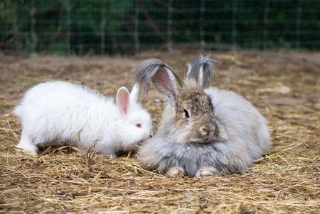 DE angorakonijnen is een verscheidenheid aan Tamme konijnen gefokt voor zijn lange, zachte wol. Stockfoto