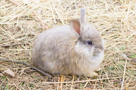 cony: THE ANGORA RABBIT IS A VARIETY OF DOMESTIC RABBIT BRED FOR ITS LONG, SOFT WOOL.