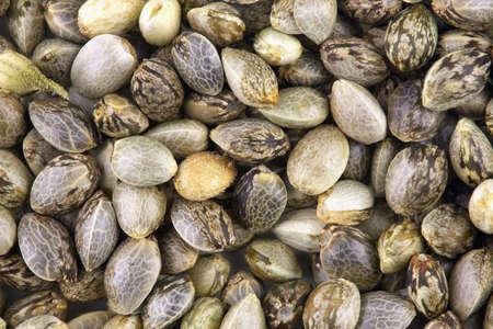 Dichte mening van hennep zaden, macro foto voor achtergrond