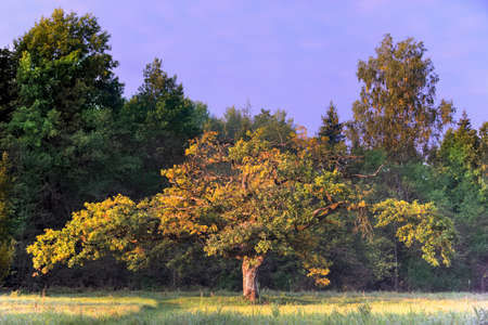 watertight: Strange form of oak in the early autumn morning Stock Photo