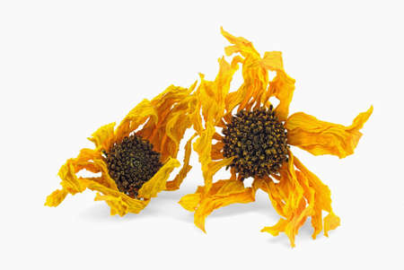 arnica: Two Arnica herb dried blossoms on a white background