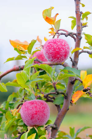 pome: Cloce view of frost on autumn red apples