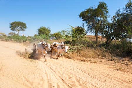 yoke: A yoke of running oxen on a dusty Myanmar road