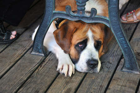 st  bernard: St. Bernard dog lying under the table