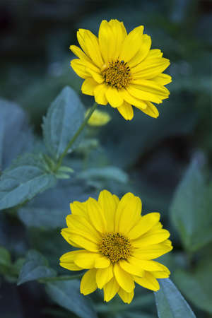 arnica: Close view of two Arnica herb  blossoms . Stock Photo