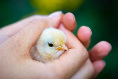 granja avicola: Cerrar la vista de pollito en la muchacha Foto de archivo