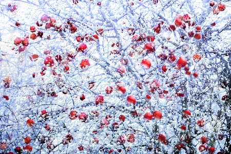 pome: Close view of frosted red apples in winter