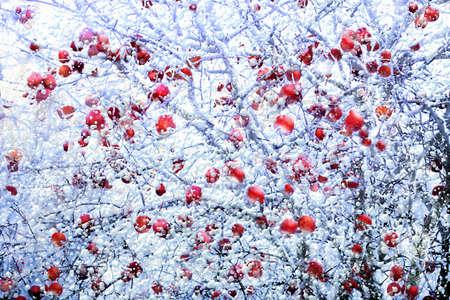 Schließen Sie die Ansicht von bereiften roten Äpfeln im Winter