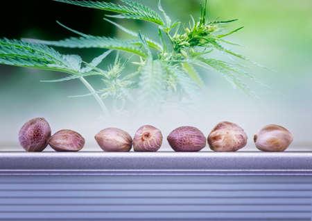 Dichte mening van hennep zaden en bladeren met het kweken van zaden