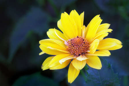 arnica: Close view of yellow Arnica herb  blossom Stock Photo