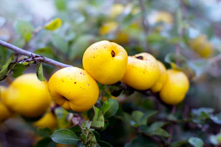 rosaceae: Close view of ecological chaenomeles speciosa (Rosaceae) fruits