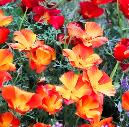 californian: Californian poppy flowers beauty. Colorful Eschscholzia Californica . Stock Photo
