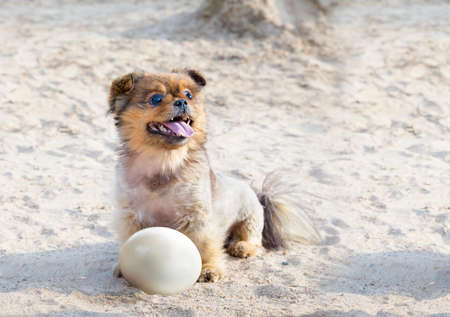 foreleg: Little happy dog with ostrich egg on a sand