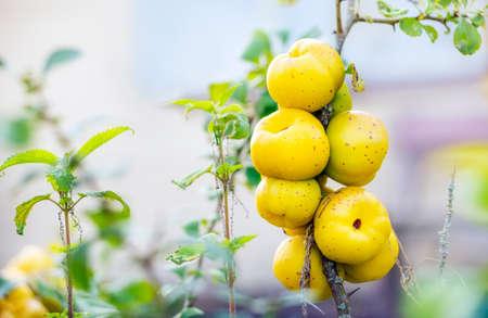 pome: Close view of ecological chaenomeles speciosa (Rosaceae) fruits