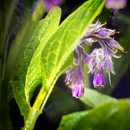 symphytum officinale: Flowers and leaves on Common Comfrey, Symphytum officinale, with bokeh background close-up, selective focus, shallow DOF Stock Photo