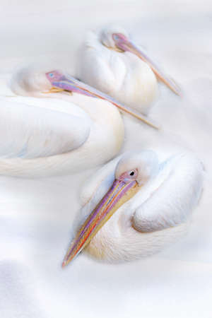 migrate: Three pelicans fall asleep in the snow Stock Photo