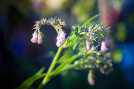 Flowers and leaves on Common Comfrey, Symphytum officinale, with bokeh background close-up, selective focus, shallow DOF Stock Photo