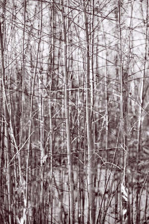 thickets: Dense young trees stems background for illustration in black white