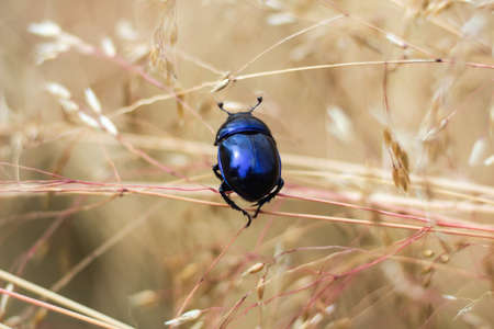 geotrupes: Close view of insect dung beetle (subfamily Scarabaeinae) in a meadow.